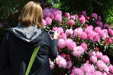 Fototapeta Kobieta fotografuje krzak kwitnących rododendronów obraz
