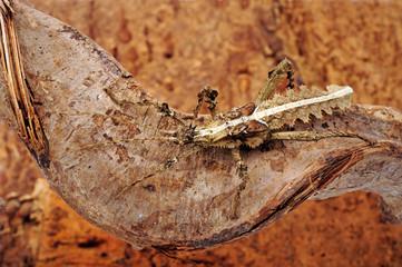 weibliche Dschungelnymphe (Heteropteryx dilatata) - Jungle Nymph / female