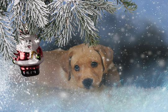 Weihnachtsmotiv: Labrador-Welpe vor Tannenzweig mit Weihnachtsmann