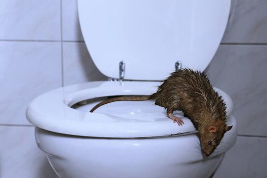 Eine Ratte kommt aus der Toilette ins Badezimmer, Nachtszene mit blauem Licht