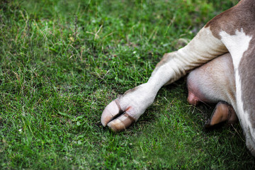 cow hooves in the grass