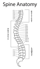 Human spine with description of all regions and segments. Isolated vector illustration. Spine pain medical center, clinic, institute, rehabilitation, diagnostic, surgery logo element. Spinal icon.