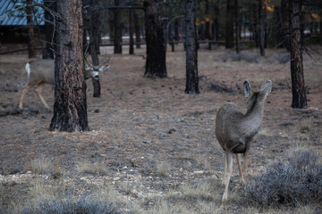 Young group of mule deers in the forest. Taken in Bryce Canyon National Park, Utah, United States.