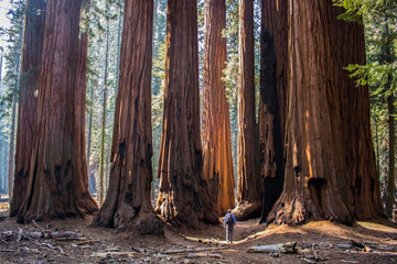 Single Man with Huge Grove of Giant Sequoia Redwood Trees in California Forest Wall mural