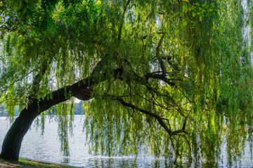 Weeping willow tree on the shoreline of Herastrau Lake, Bucharest, Romania Wall mural