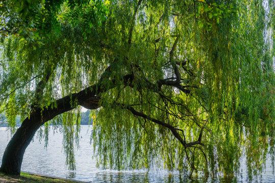 Weeping willow tree on the shoreline of Herastrau Lake, Bucharest, Romania