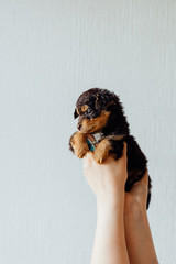 Tiny puppy being held in the air against a white wall