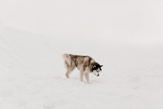 husky dog playing in snow in winter