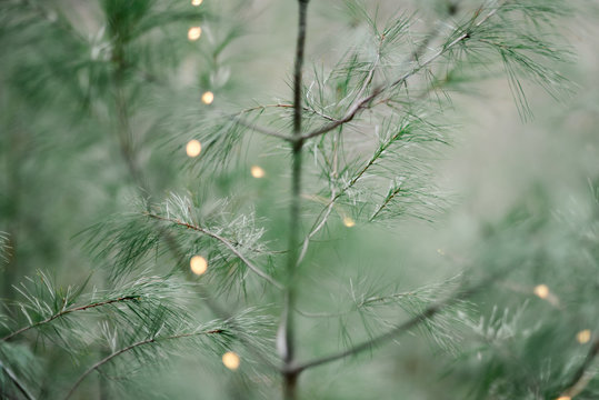 evergreen with fairy lights