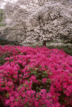 Azalea (Rhodendron sp.) shrubs and dogwood (Cornus sp.) trees blossoming in early spring in South Carolina on a foggy misty morning.  Photographed on Fuji Velvia film.