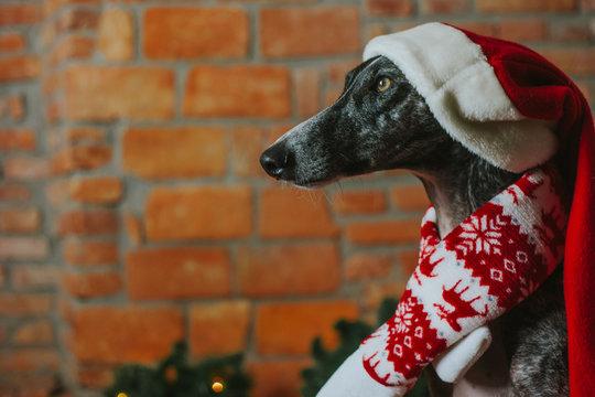 Greyhound at Christmas time