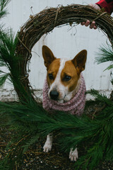 dog wearing winter sweater looks through holiday wreath