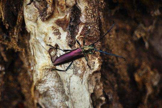 Musk beetle (Aromia moschata) on a tree