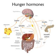 Appetite and hunger hormones vector diagram illustration.