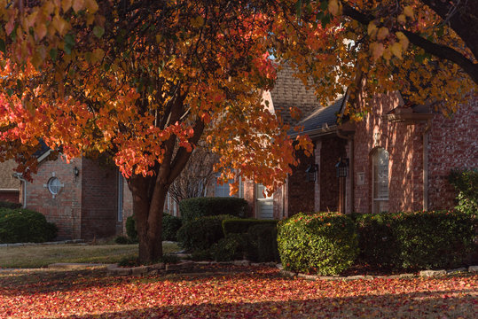 Colorful fall foliage at front lawn of residential house near Dallas, Texas, USA. Thick carpet of ground Bradford pear leaves at sunrise