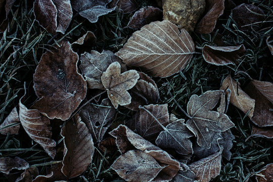 Frozen leaves on cold autumn morning