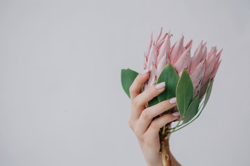 Crop female's hand holding protea flower on white background