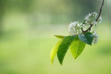 Spring fresh cherry blooming tree