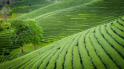 agricultural area green tea on mountain chiang rai Thailand Wall mural