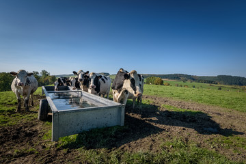 Cows near water tank in the green hilly fields of the Ardennes Belgium