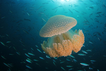 Mosaic Jellyfish