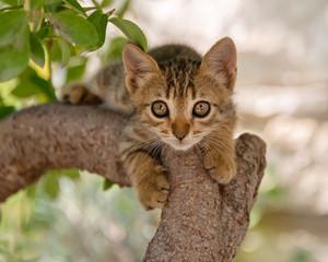 Kitten, brown tabby, climbing in a tree. Aegean island, Greece, Europe