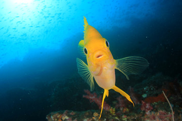 Golden Damselfish fish
