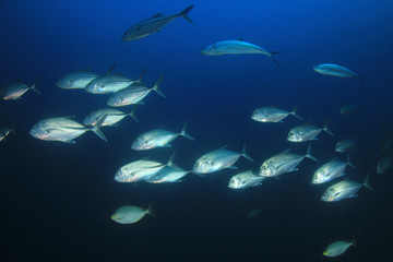 School of Bigeye Trevally (Jack) fish