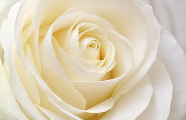 Beautiful soft fresh white rose Fototapete