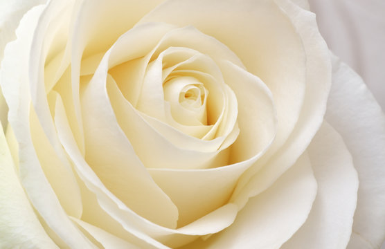 Beautiful soft fresh white rose