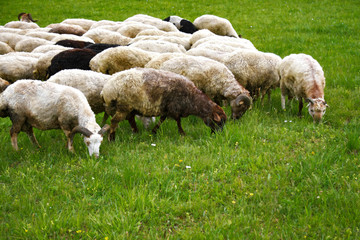 Sheeps on the grass
