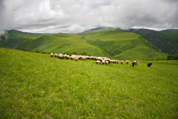 Sheeps in a cloudy meadows