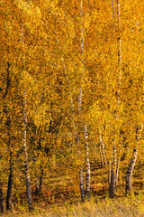 Birch trees grove