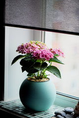 A pot of pink hydrangea in the home. In winter. Flowering plant in a pot.