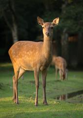"""Sika Deer """"Lisa"""""""