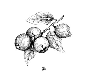 Tropical Fruits, Illustration of Hand Drawn Sketch Lemon Guava or Psidium Littorale Fruits Isolated on White Background.