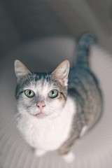 Cute tabby cat looking curious up to the camera. Vertical image.
