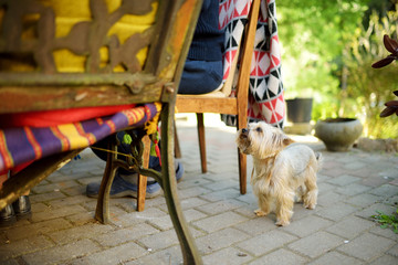 Funny yorkshire terrier dog waiting by dining table. Little puppy begging for food.