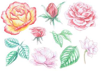 Watercolor drawing : Roses