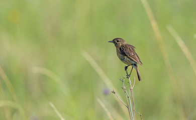 Female African stonechat bird perched on dry grass isolated against an out of focus green background image in landscape format with copy space