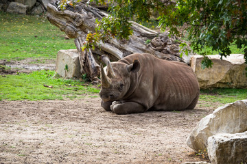 The rhino female lies resting surrounded by grass and trees.