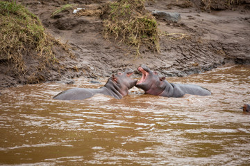 Two young hippos fighting