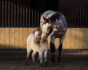 Wall Mural - Appaloosa horse and American miniature horse in paddock at sunset light.