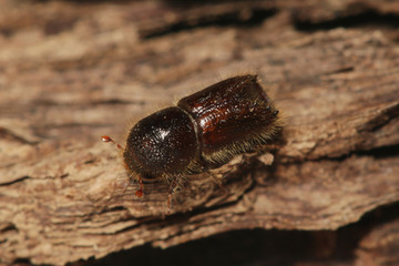 European spruce bark beetle sitting on a piece of bark. A common forest pest species occurring mostly in Europe and Asia on a close up picture.
