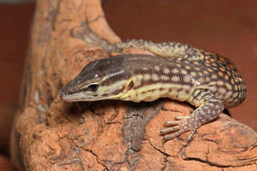 Newly hatched Spiny-tailed monitor, also known as the ridge-tailed monitor or Ackies dwarf monitor. A rare Australian reptile which has spiny tail and is sometimes bred in captivity as a pet.