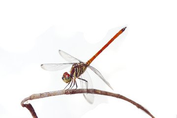 Asiatic Blood Tail dragonfly (Lathrecista asiatica asiatica) with big red eye on white background