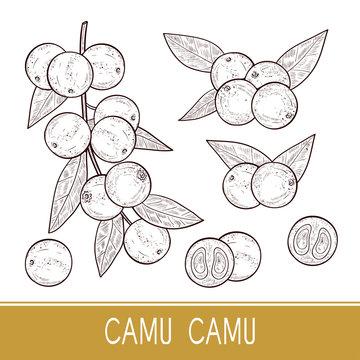 Camu camu. Branch, leaves, fruit, berry. Sketch. Set. Monophonic.
