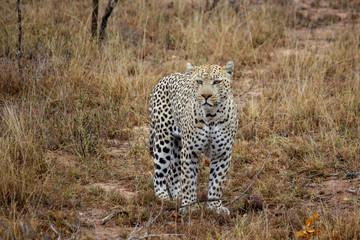 Leopard steht