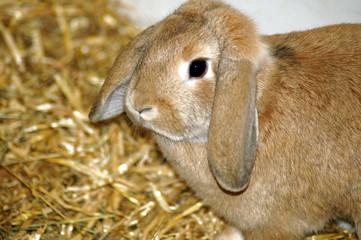 Hase Kaninchen im Heu und Stroh