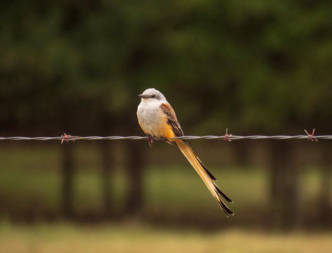 Scissor-tailed flycatcher perching on barbed wire.